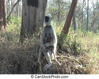 Langur Monkey in Mudhumalai Wildlife Reserve, India