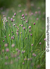 Flowering purple chive blossoms aga