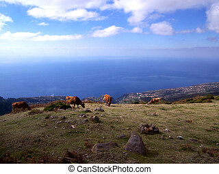 Cattle in Funchal, Madiera - At the Mountain Top Cattle in...