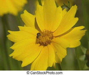 Yellow flower with insect, pollinator