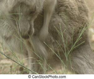 Eastern grey kangaroo (macropus giganteus ) scratching -...