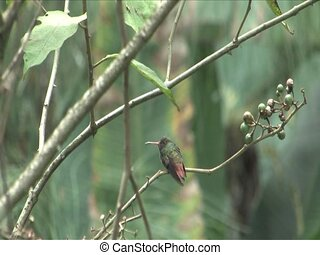 Hummingbird sitting in the Cloud forest, Peru, South America