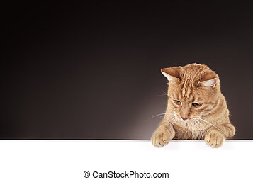 Cat - Senior 10 year old ginger cat hanging on a blank white...
