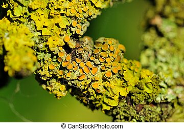 Lichen on Tree Bark Close-Up - A close-up of epilithic...