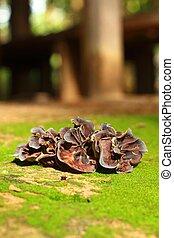 oreja, Hongo, Crecer, en, el, bosque, (Auricularia,...