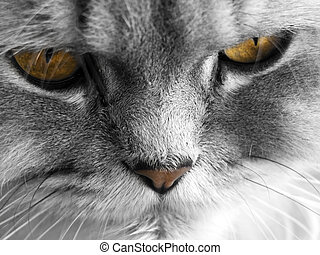 Persian Cat - Portrait of a beautiful Persian cat or kitten