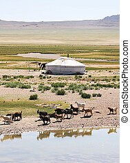Mongolia - Traditional mongolian landscape Herd of goats on...