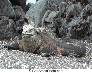 Marine Iguana on the Galapagos Islands