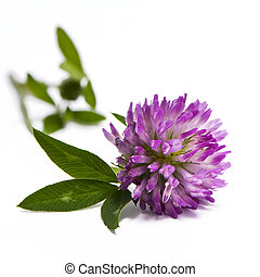 Red clover - A closeup of the blossom of a red clover