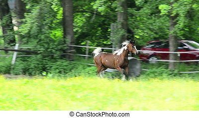 Pinto Arabian gelding galloping with full speed on the...