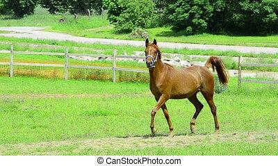 proud asil arabian horse mare - Asil Arabian mare - two...