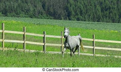 arabian horse mare and foal gallop - grey Asil Arabian horse...