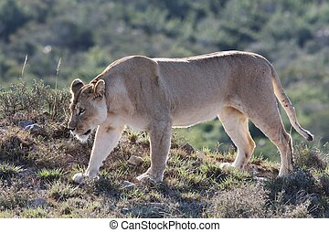 Lioness Prowl - Female lion or lioness stalking in lake...