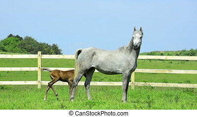 arabian horse mare and foal - grey Asil Arabian horse mare...