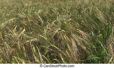 ripe rye field - ripe rye Secale nice swing downwind Medium...