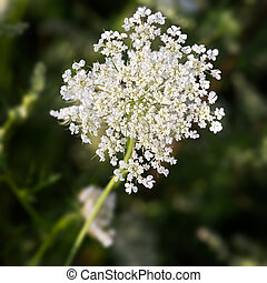 Common Yarrow lat Achillea millefolium with green background...