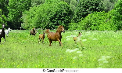 arabian horse mare and foal gallop - arabian horse herd with...