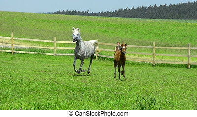 arabian horse mare and foal gallop - grey Asil Arabian horse...