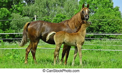 Asil Arabian horse mare looking - Asil Arabian mare and foal...