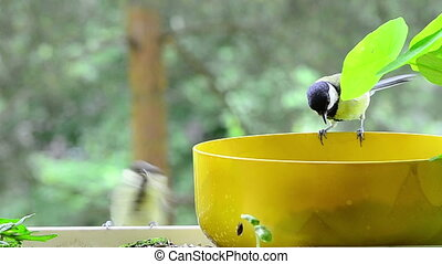 young great tit begging - a young great tit with father or...