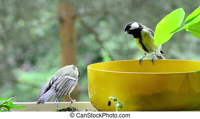 two great tit on a bowl with seeds