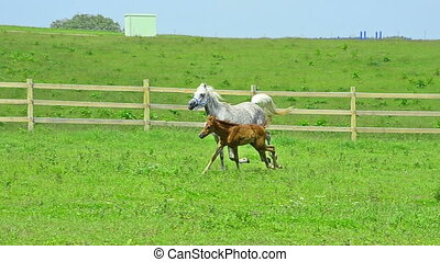 Asil Arabian mare and foal - Asil Arabian mare trotting and...