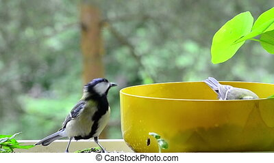 two great tit on a bowl with seeds on my balcony
