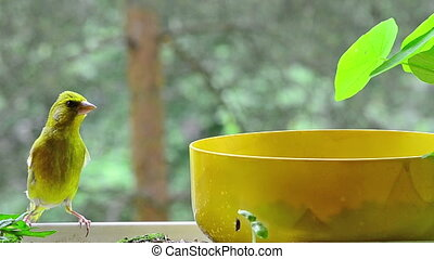 young great tit and green finch - a green finch sitting on a...
