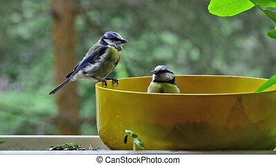 blue tit founding seeds in a bowl - blue titmouse founding...