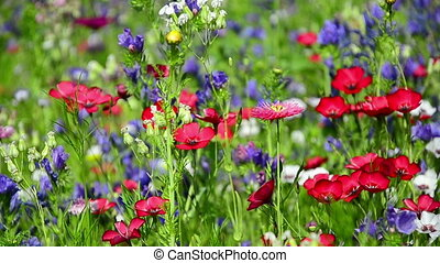 colorful wildflowers on a meadow in July, Germany Blueweed,...