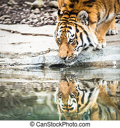 Indian Tiger Drinking Water  - Indian Tiger Drinking Water