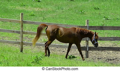 Asil Arabian horse mare trotting - Asil Arabian mare - two...