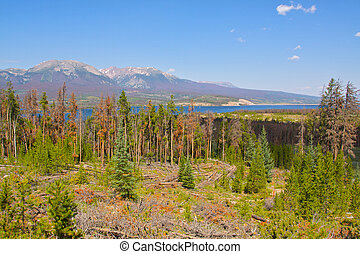 Pine Beetle Destruction in Colorado - near total destruction...