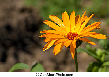 calendula arvensis - vivid orange calendula arvensis at...
