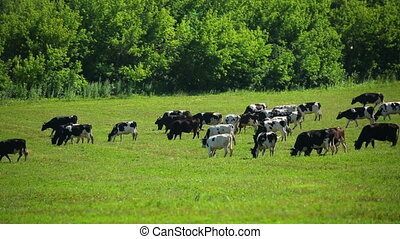 large herd of cows on pasture