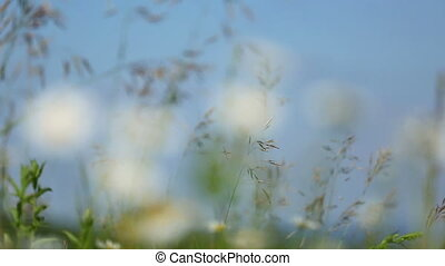 daisies on a meadow under blue sky - rack focus