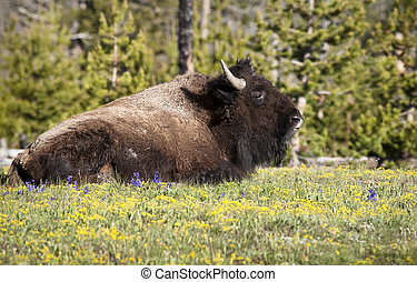 Bison - American Bison, Yellowstone National Park, Wyoming,...