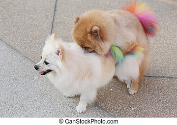 Pomeranian dogs mating