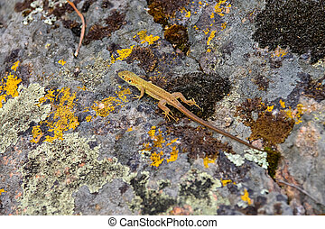 Lizard on a boulder covered with moss
