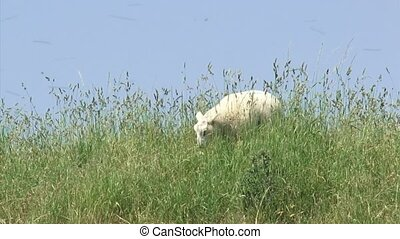 Lamb grazes in high grass on top of sea dike against a blue...