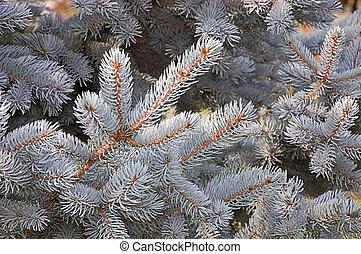 closeup, albero, argento, pino, colorato