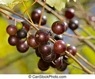Wild Muscadines or Scuppernongs - A cluster of wild grapes...