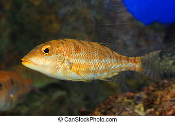 Blue banded snapper (Lutjanus kasmira) in Japan
