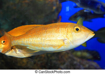 Blue banded snapper Lutjanus kasmira in Japan