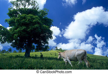 Cow in green field at Dominican republic island