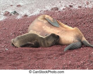 Sea lions on a red sand beach of the Galapagos Islands