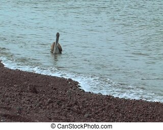 Pelican on the Galapagos Islands shoreline