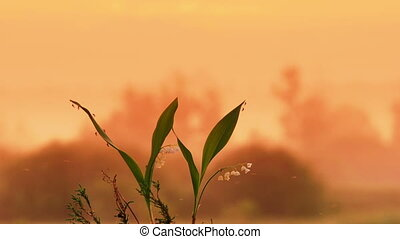 The lily of the valley on the sunri - Timelapse shot of the...