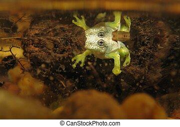 Treefrog, en, el, agua,