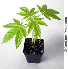 Marijuana plant in the pot